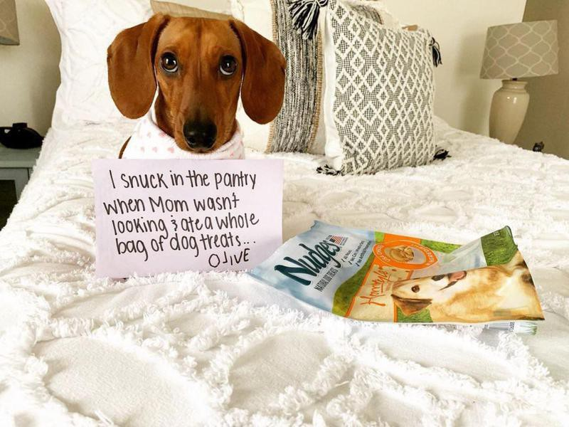 Funny beagle ate all the dog treats