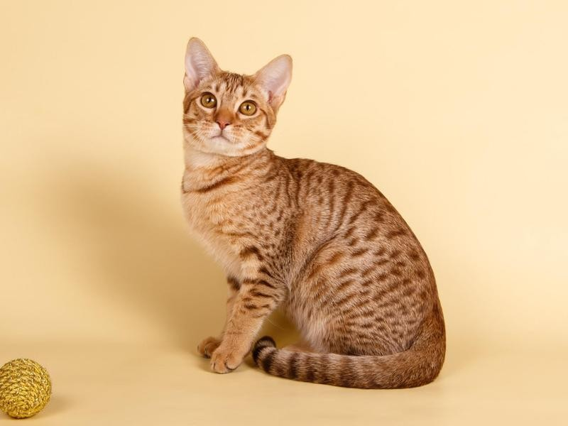 Ocicat catd