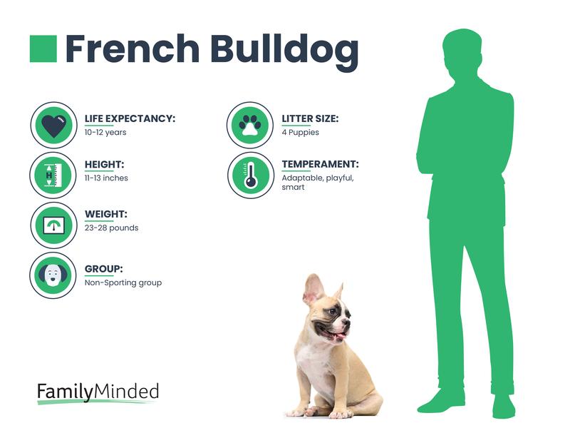French Bulldog breed info