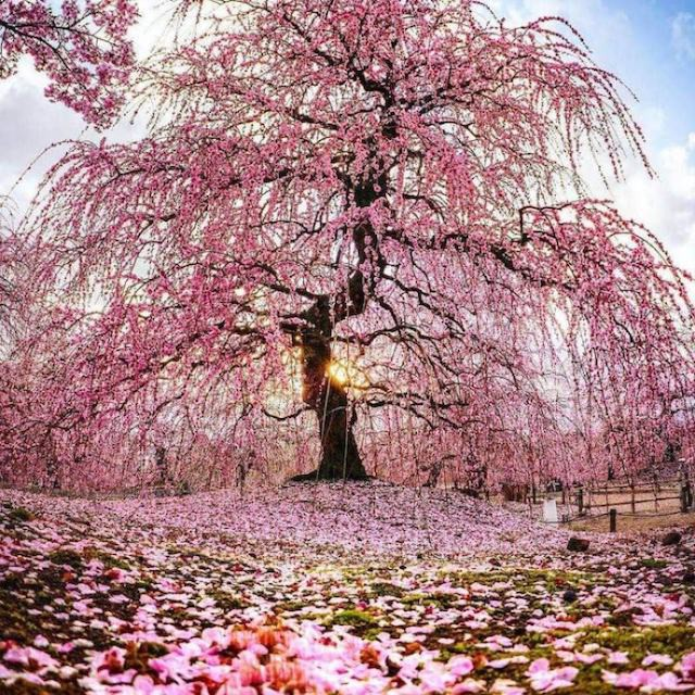 Cherry blossoms in Manchester, England