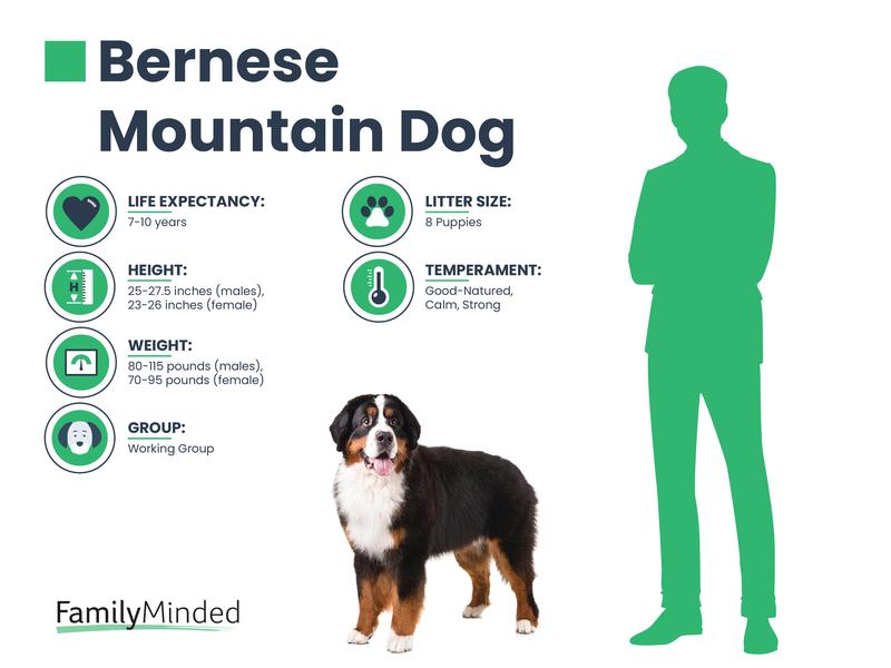 Bernese Mountain breed
