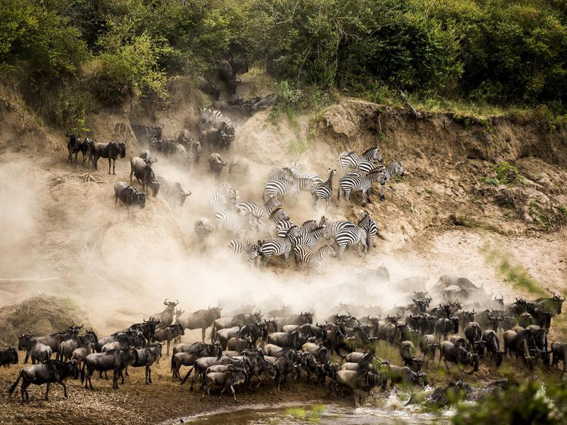 Zebras Join in on the Migration