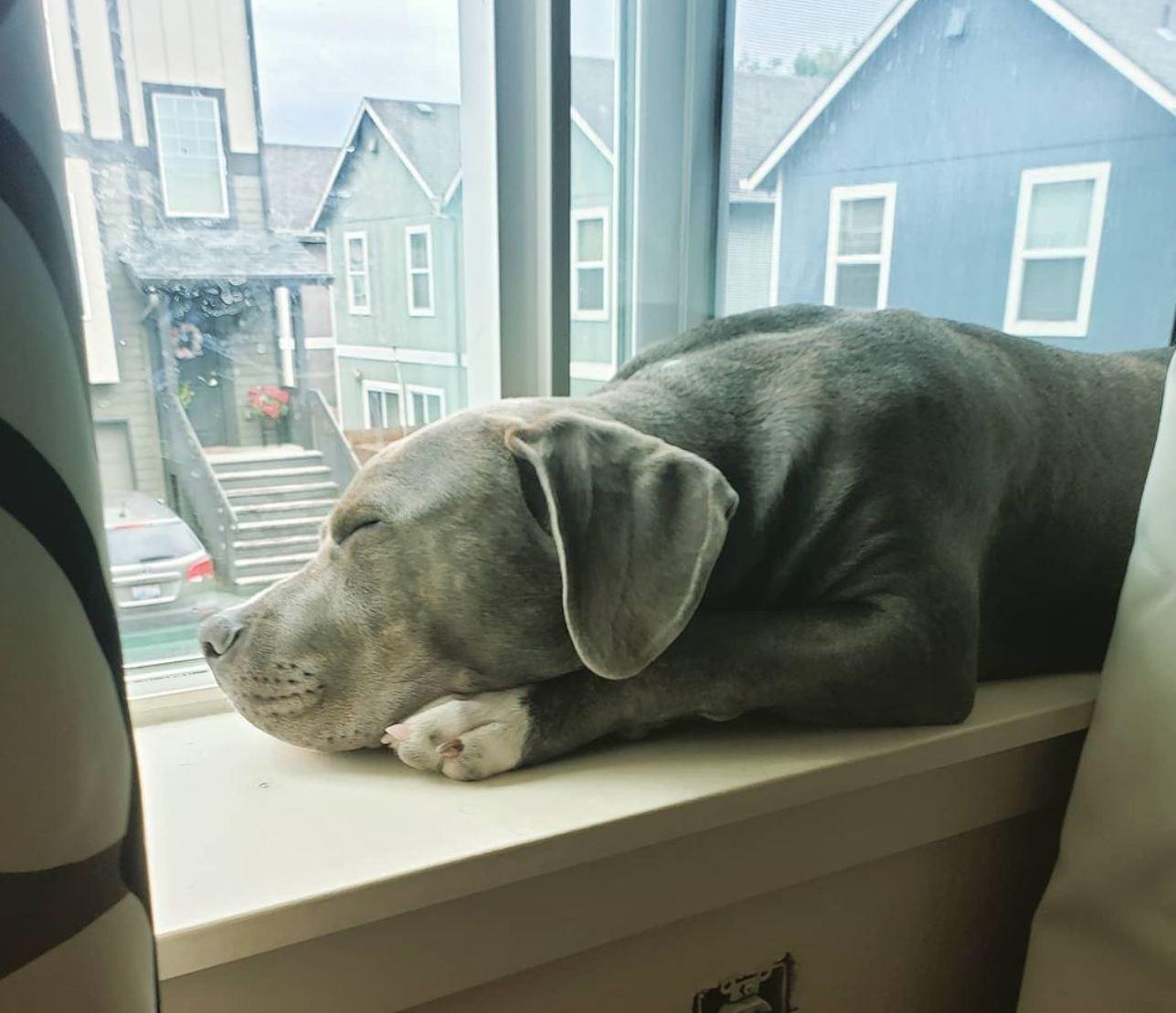 Sleeping pitbull