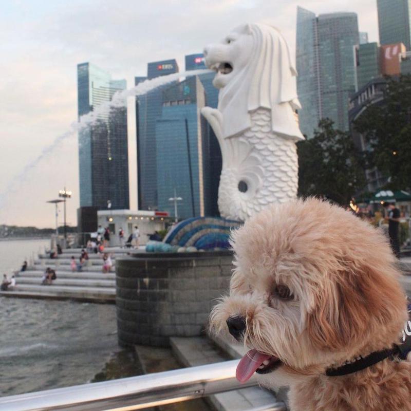 Dog in Singapore