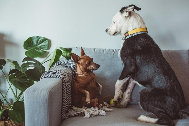 two dogs on couch