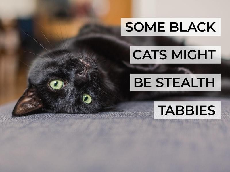 Some Black Cats Might Be Stealth Tabbies