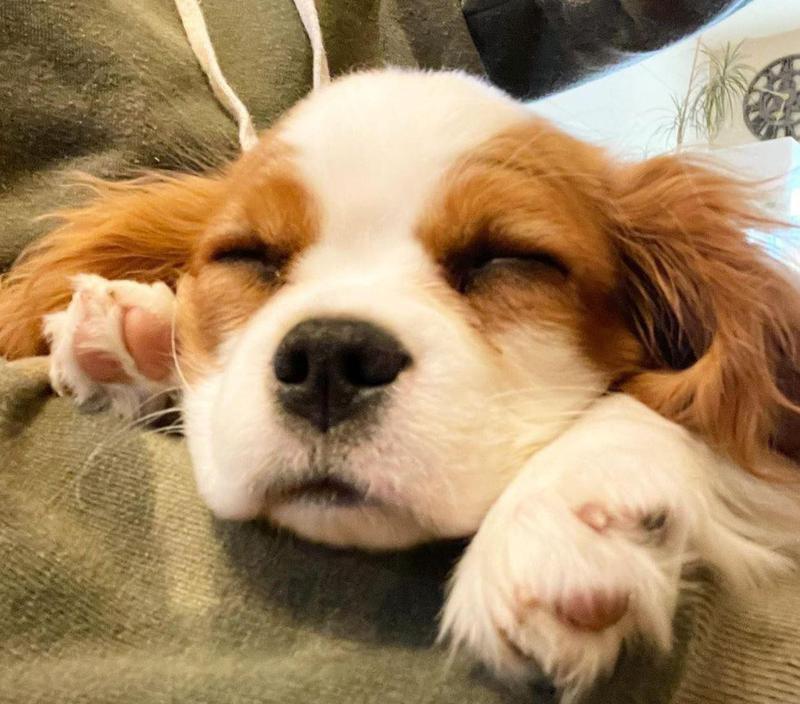 Sleeping puppy looking happy
