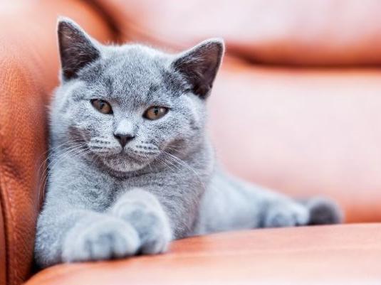 'Blue' Boy Cat Name