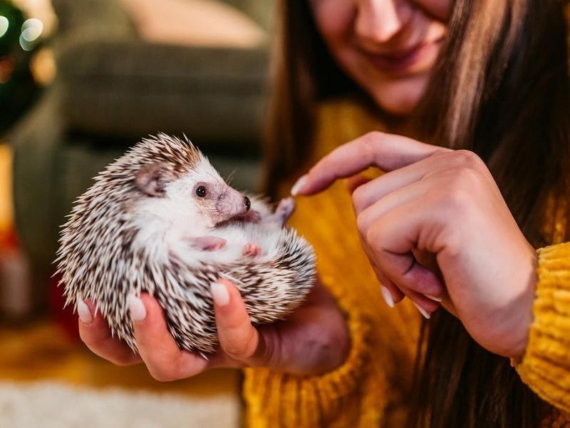 Woman petting hedgehog