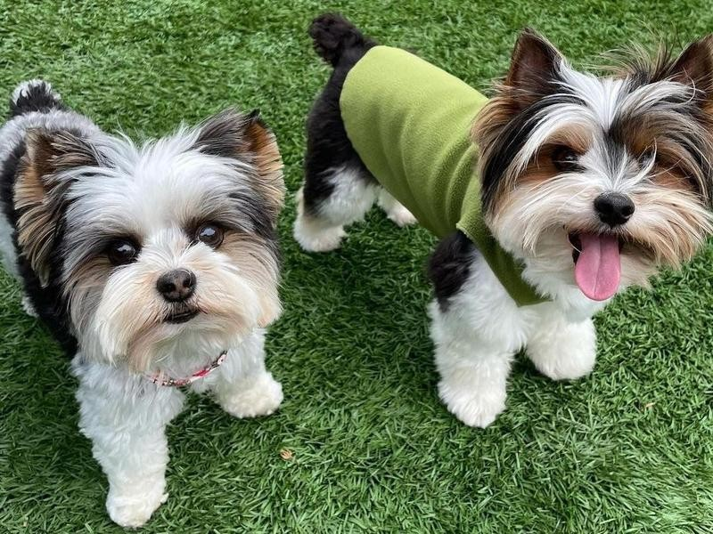 The Biewer Terrier Is Essentially a Yorkie