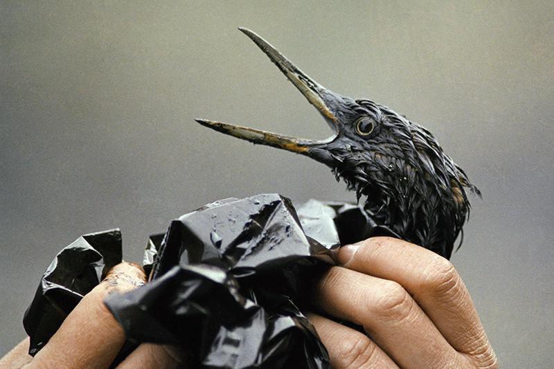 Oil-soaked bird
