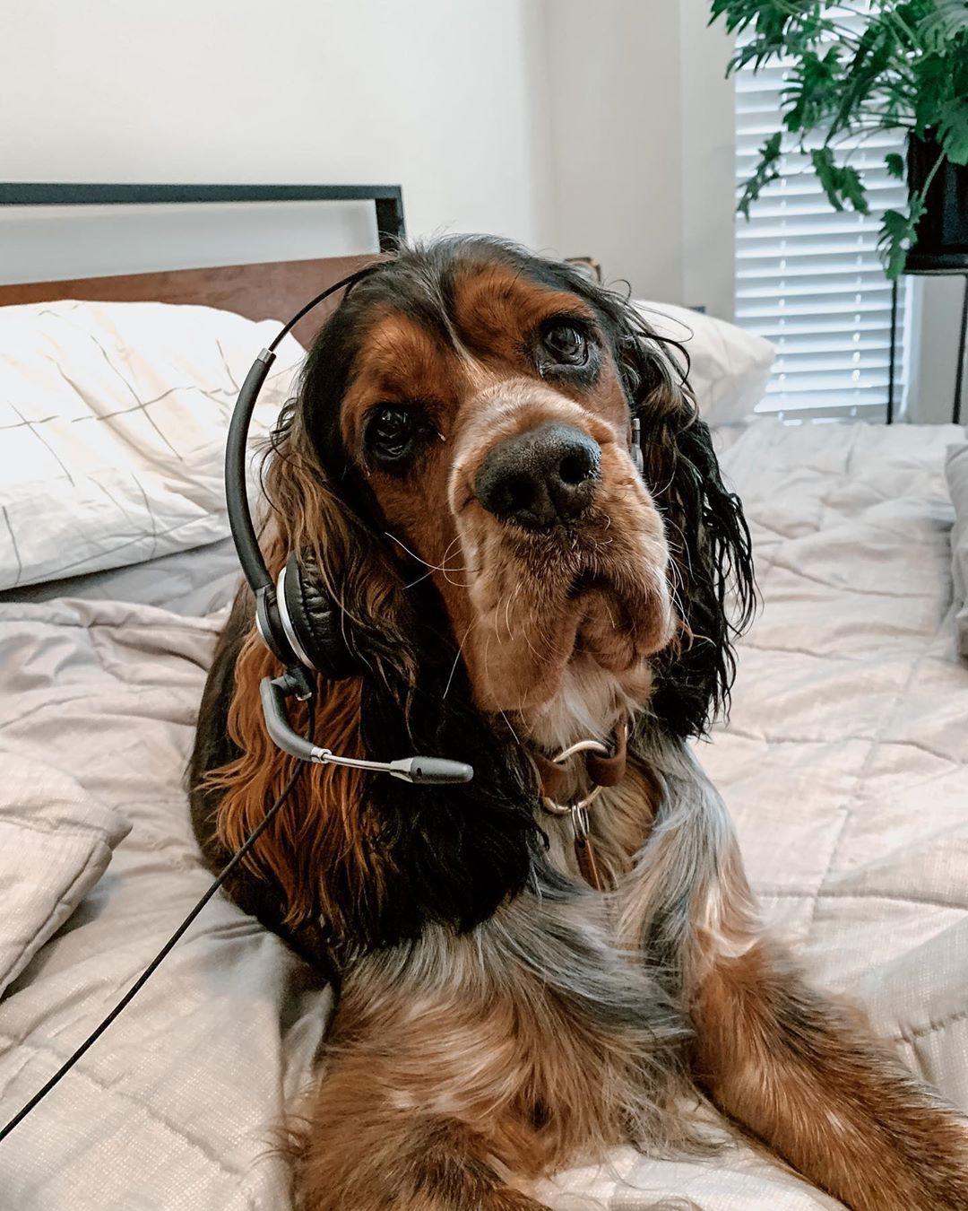 Springer spaniel dog with headset