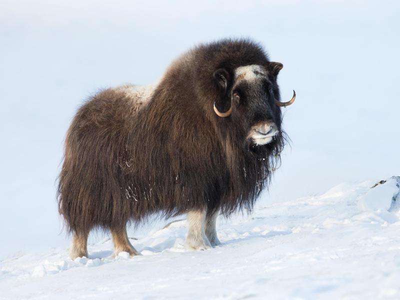 Musk Oxen