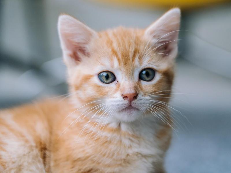 Cute little red cat