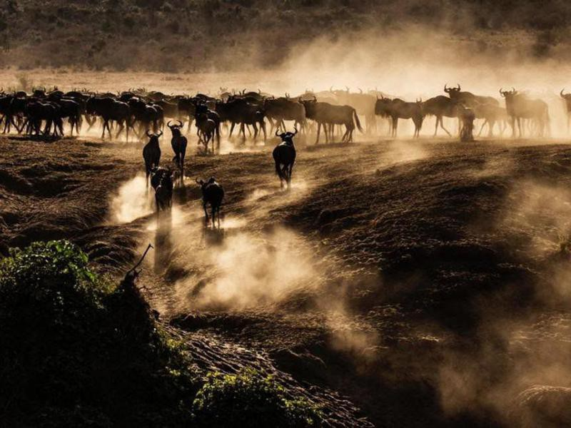 Wildebeest Backs to the River