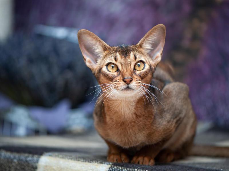 Very beautiful Abyssinian cat