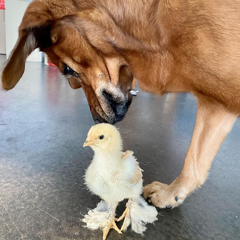 Chick and dog
