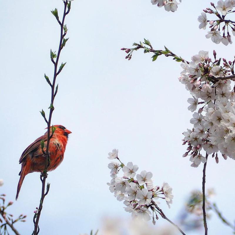 Yoshino cherry blossom with red cardinal