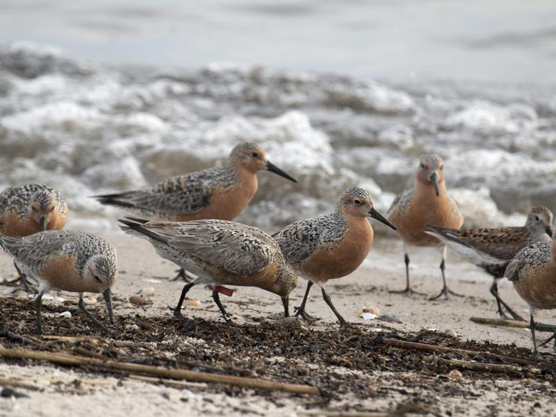 Red-knot Sandpiper