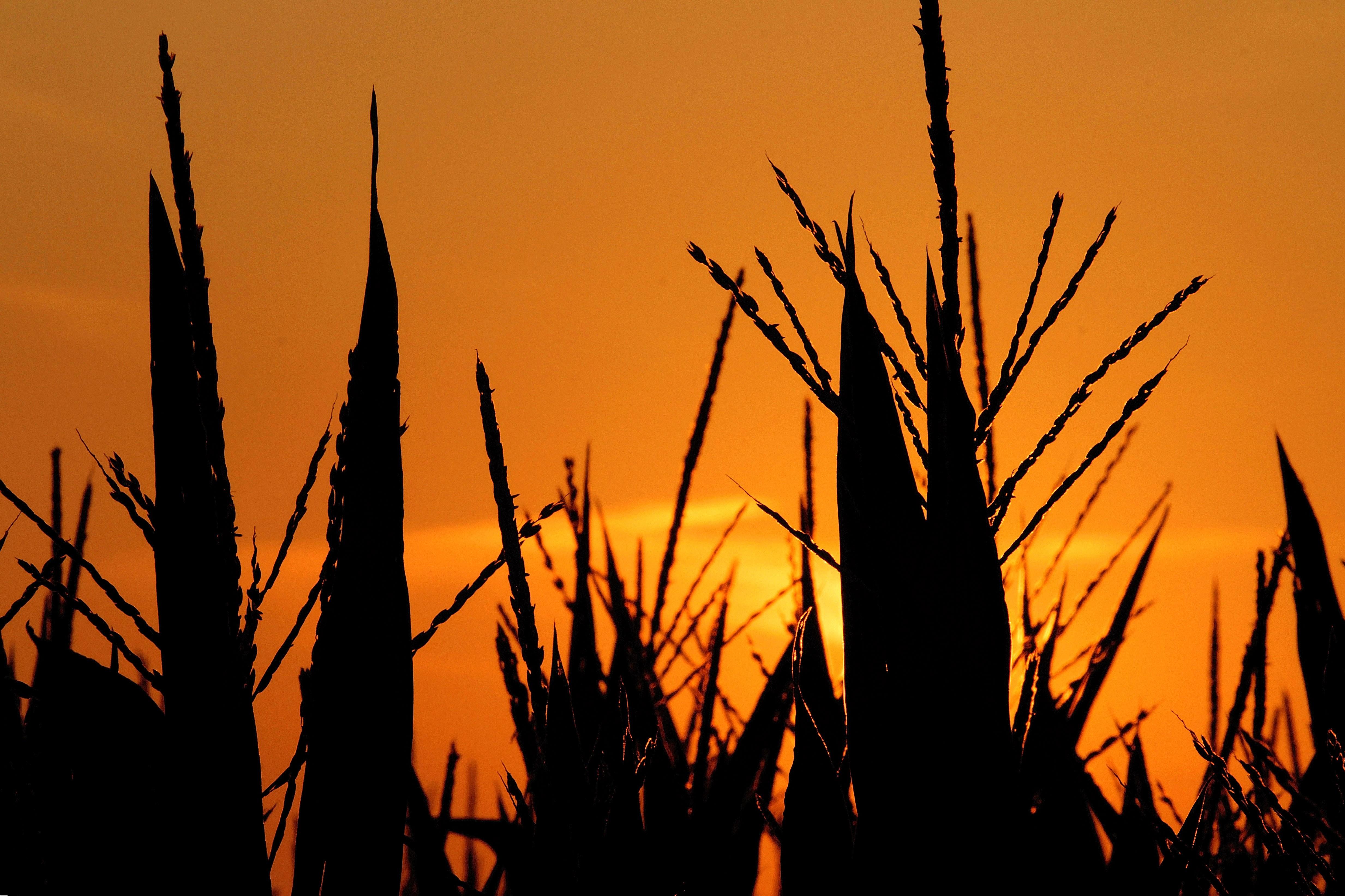 Corn in Illinois