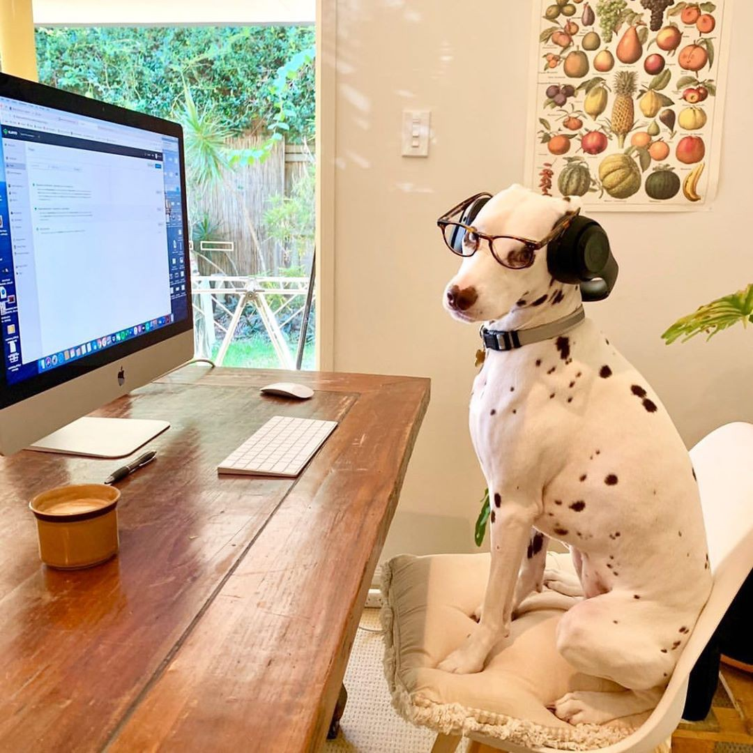 Dalmatian working from home