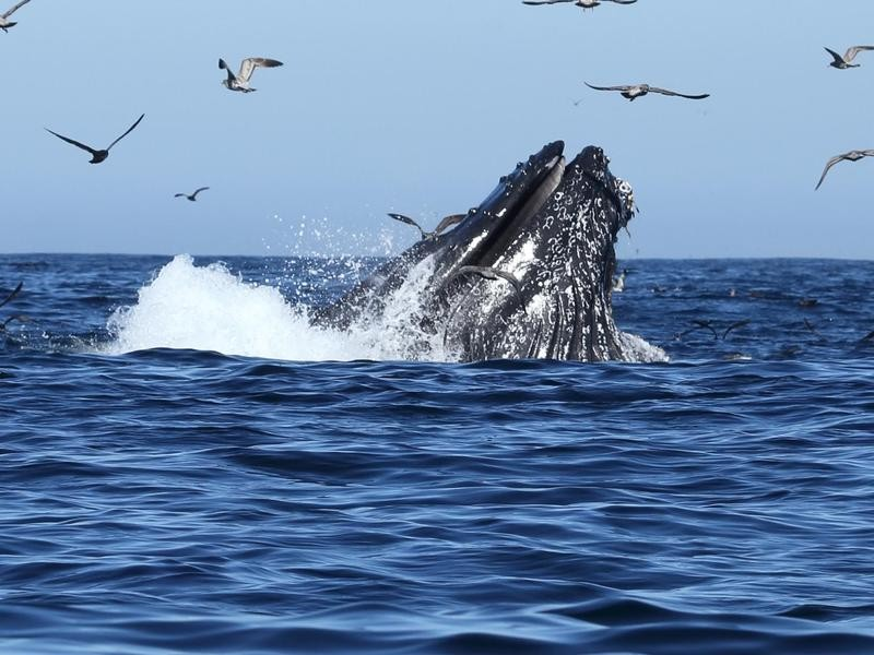 Humpback Whales Feeding in Monterey