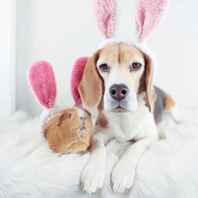 Guinea pig and beagle