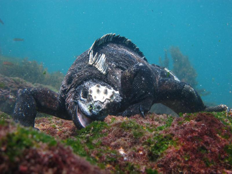 Marine iguana eating algae