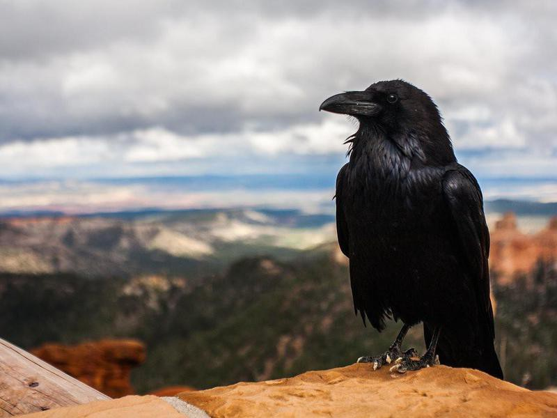 Black crow perched on a rock