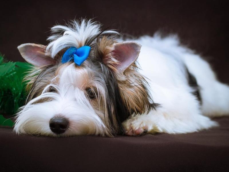 The Biewer Terrier Requires Grooming
