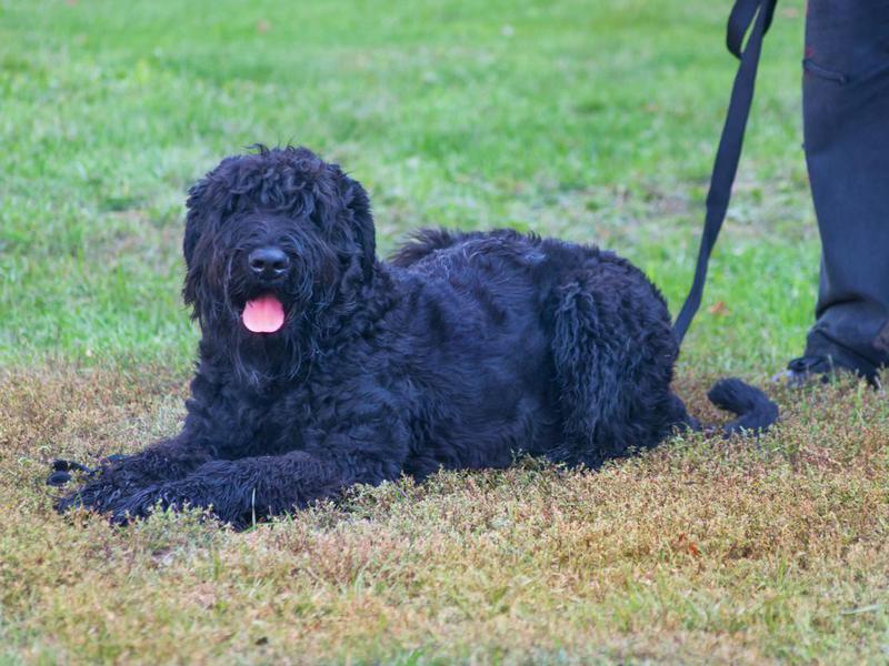 Black Russian Terrier Overview