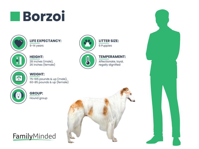 Borzoi breed