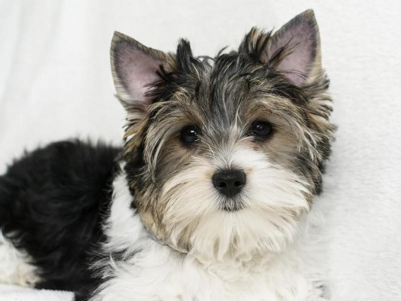 Biewer Terriers Should Have Black Skin Pigmentation