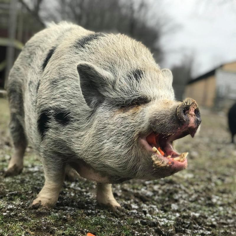 Wilby the Pig