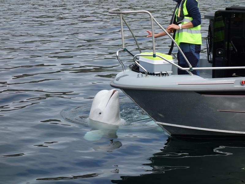 Hvaldimir the Beluga