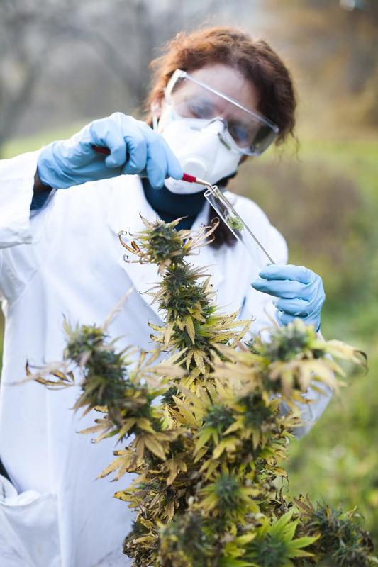 Woman working with marijuana plant