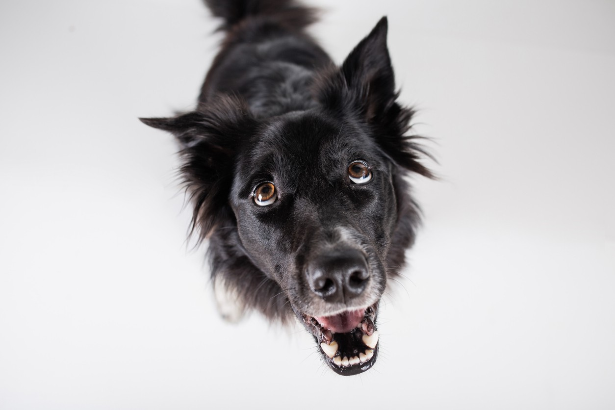 Purebred dog with a funny emotion