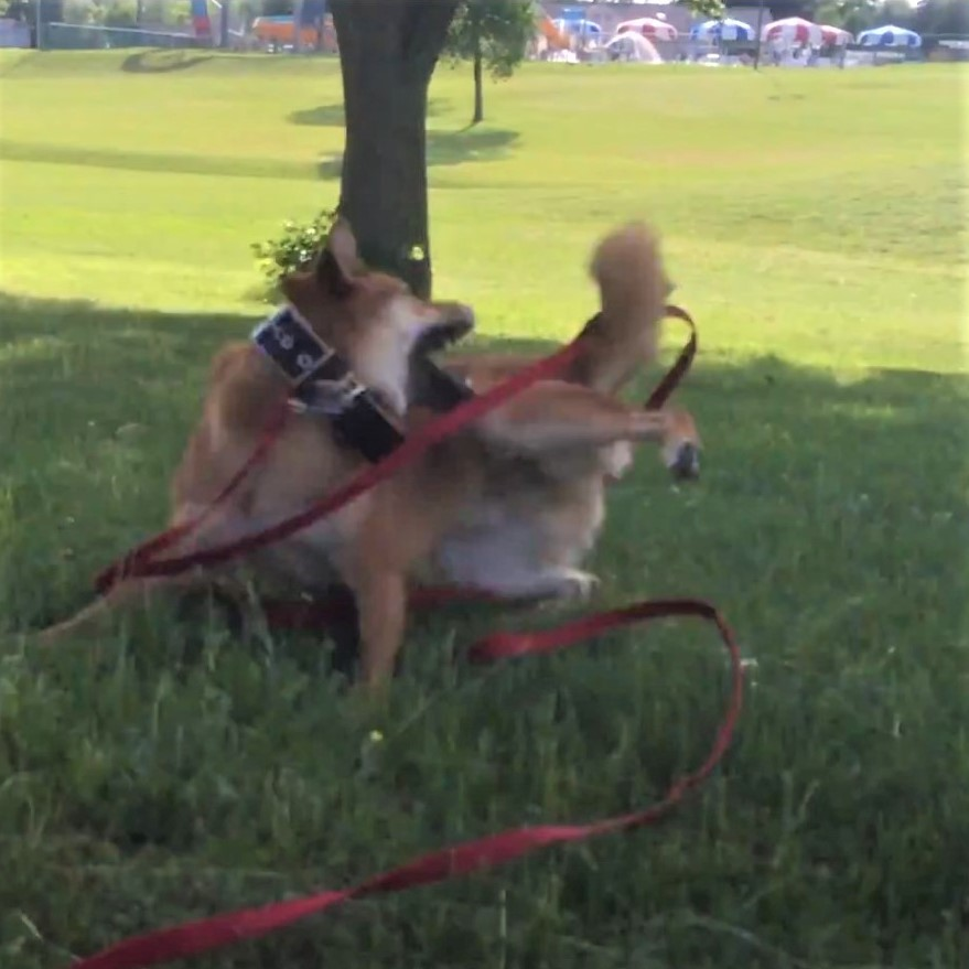 Shiba Inu chasing his tail