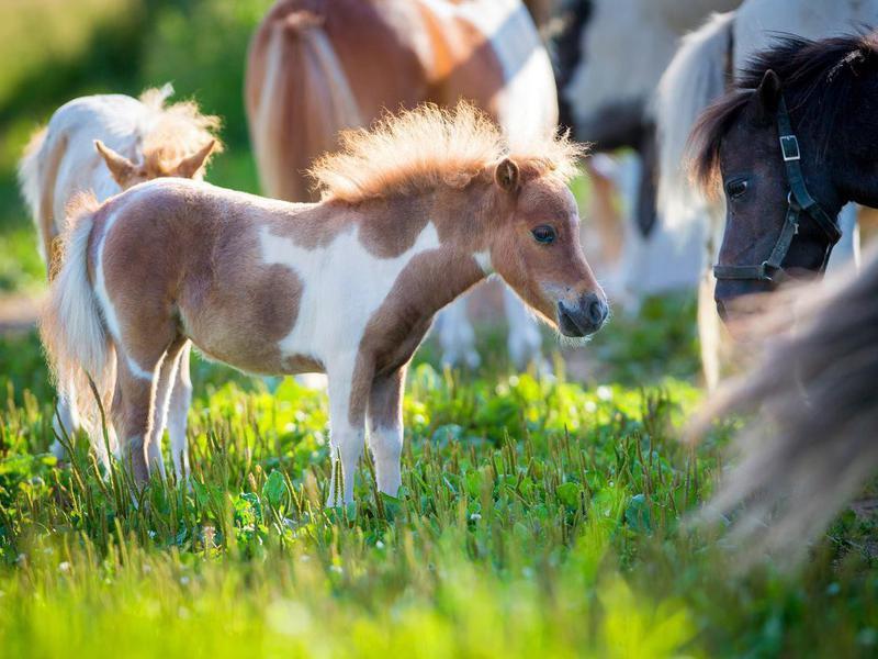 Herd of miniature horses in pasture