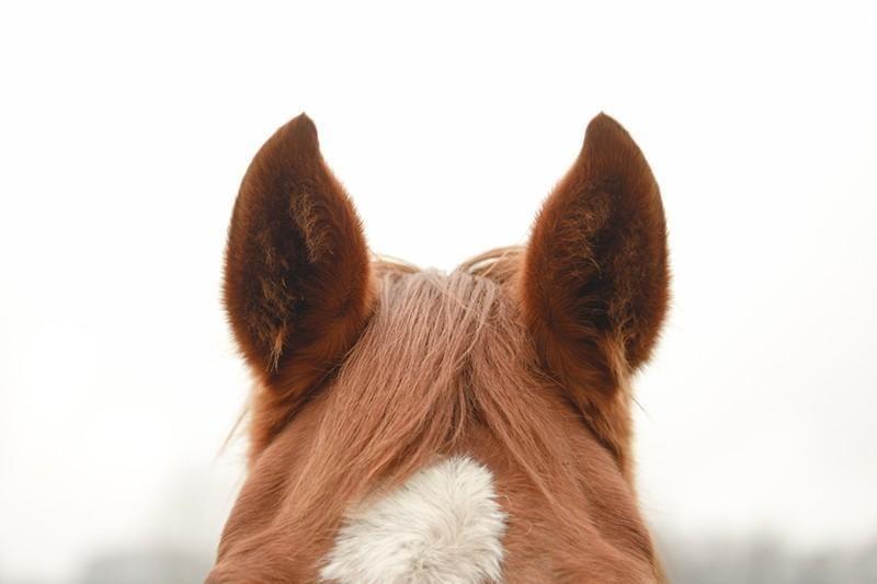 horse ears