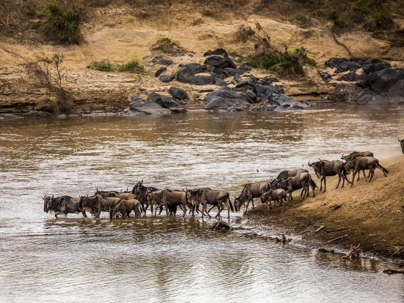 Wildebeests Finding a Flatter Way