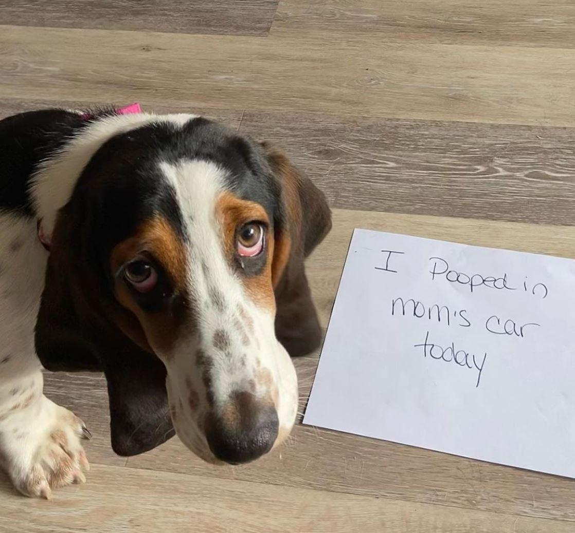 Sad dachshund