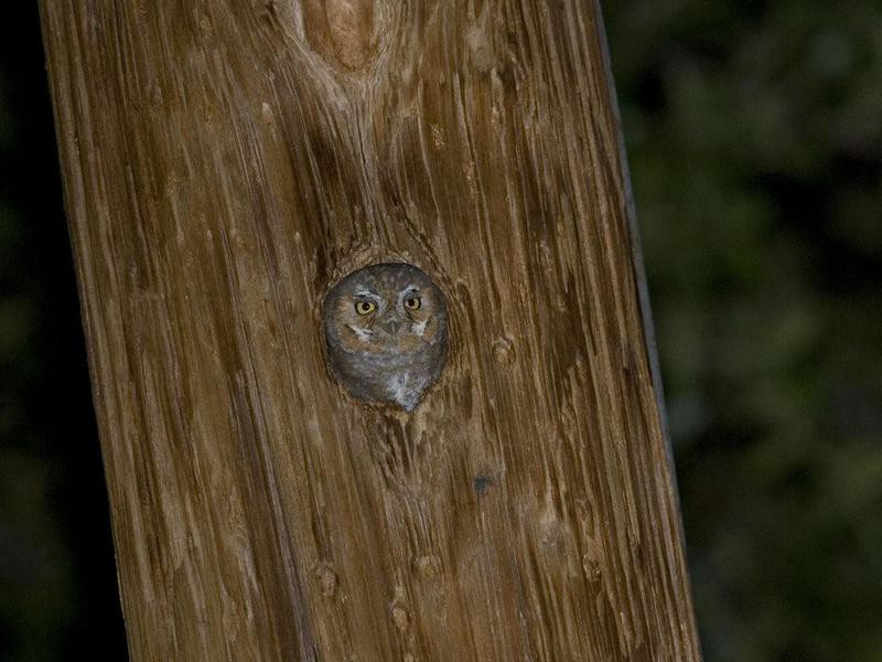 Elf owl in a post