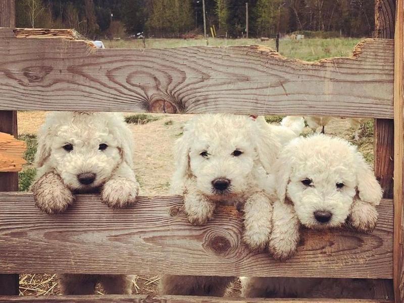Three Komondor puppies