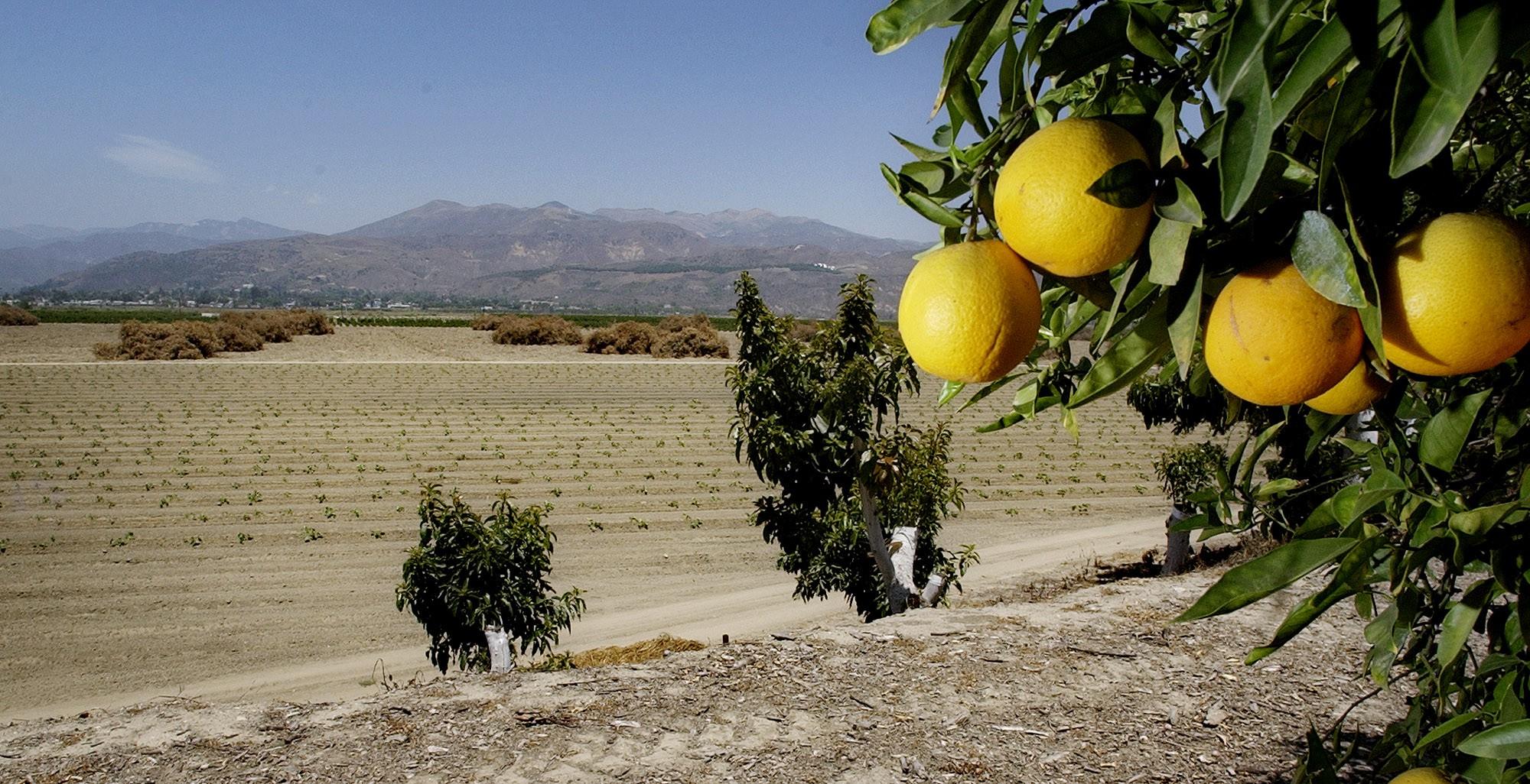 Valencia oranges in California