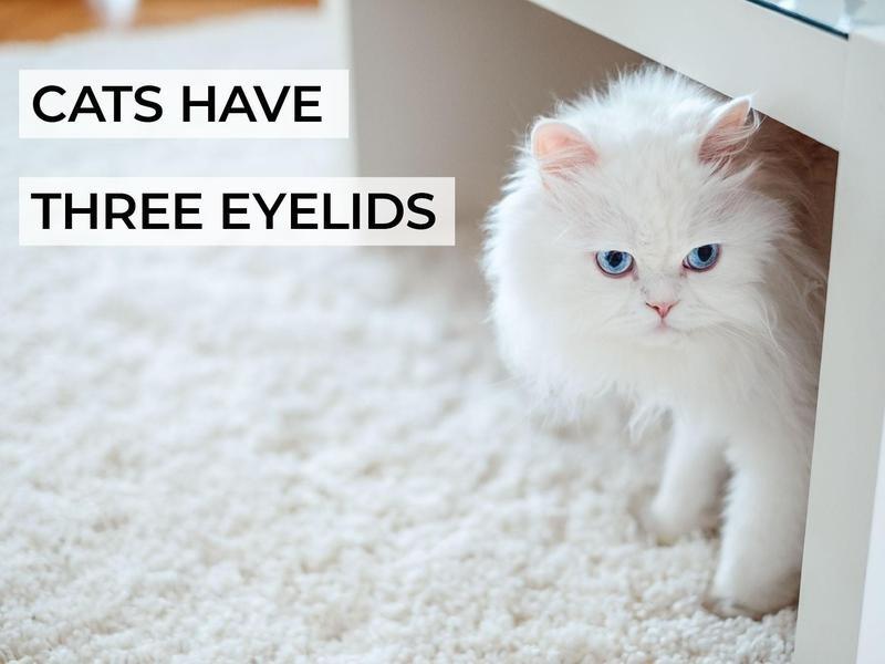 Cats Have Three Eyelids
