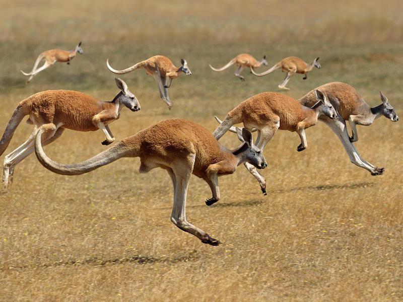 Group of wild kangaroos in Australia