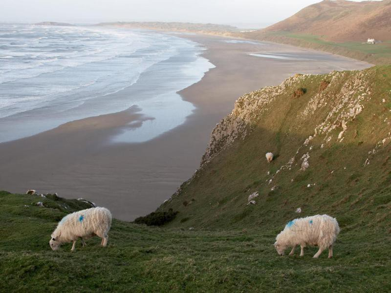 Grazing sheep Rhossili Bay in Wales