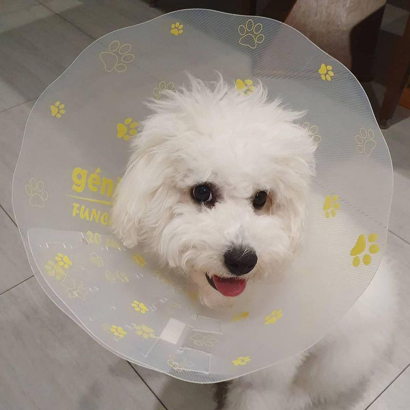 Dog with surgery cone