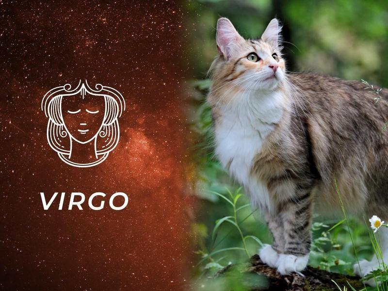 Virgo: Norwegian Forest Cat
